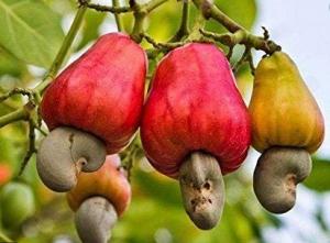 fruta-caju
