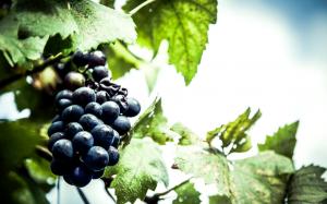frutas-uva
